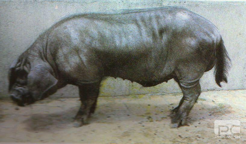 东串猪 (99)