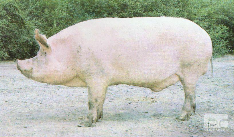 哈尔滨白猪 (1)