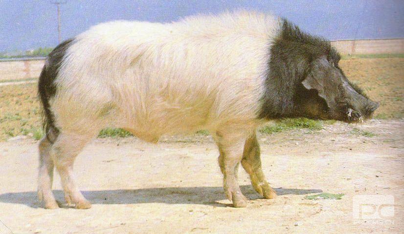 金华猪(又名两头乌猪金华两头乌猪) (99)