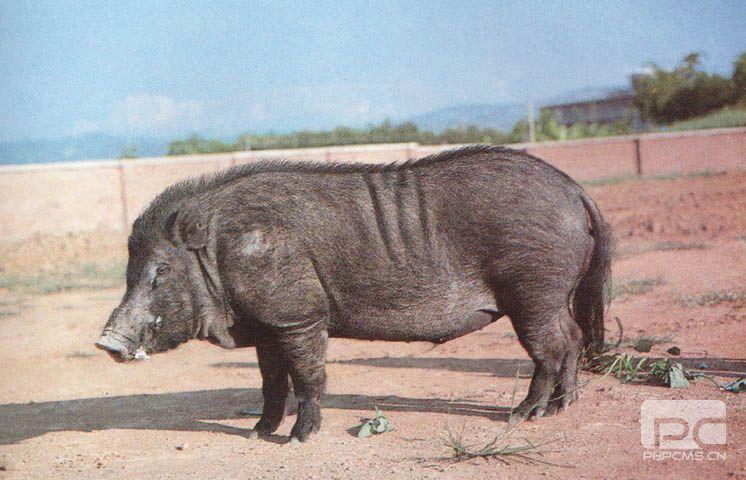 民滇南小耳猪 (99)