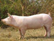 """""""英系大白猪""""种母猪 (99)"""