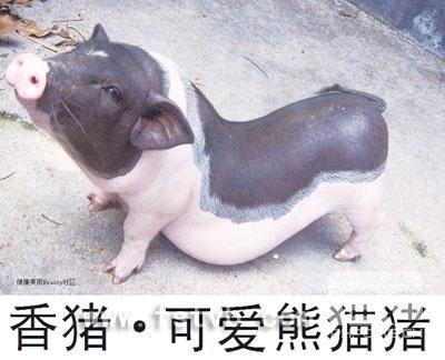 中华熊猫猪 (1)