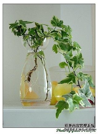 吊竹梅,吉祥等;木本花卉中的茉莉花,发财树,巴西木,垂叶榕,桂花,金橘