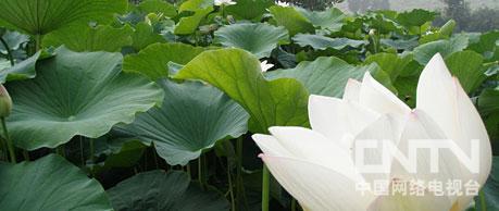 4 省肥高效的莲藕池 2010.9.24