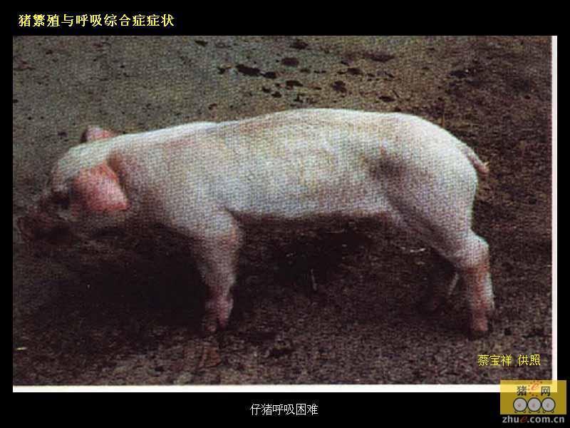 动物 猪 800_600