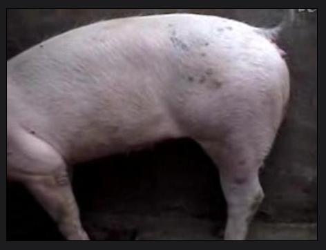 动物 猪 472_362