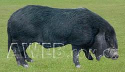 八眉猪(图) (1)