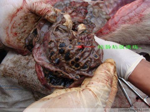 仔猪副伤寒解剖诊断病例