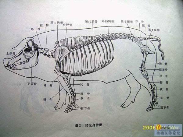 猪淋巴结解剖图_猪解剖图谱 -猪解剖学