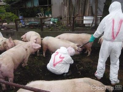 警报:猪A型口蹄疫来了 (1)