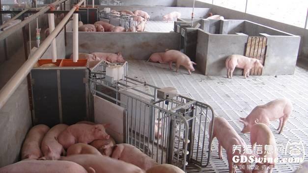 智能化母猪群养系统:母猪的电子餐厅