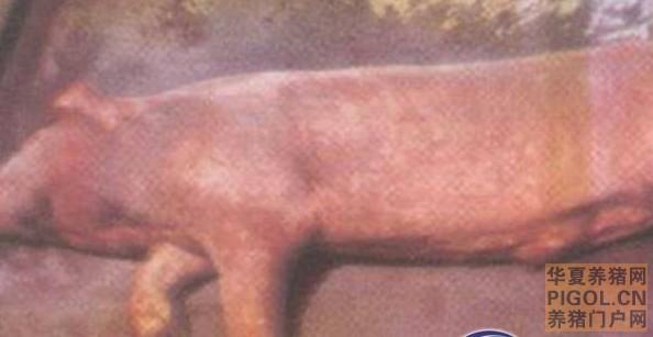 猪链球菌病—猪病大全