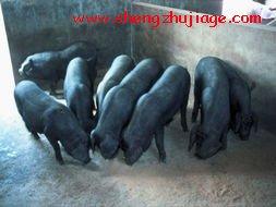 北京黑猪品种介绍 (1)