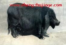 """新品种猪""""金枫猪""""介绍 (1)"""