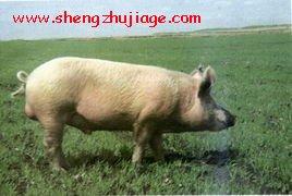民猪介绍 (1)