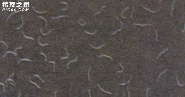 猪类圆线虫病 (1)
