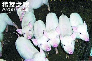 猪脾虚性腹泻 (1)