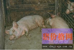 仔猪副伤寒的病因及防控解析