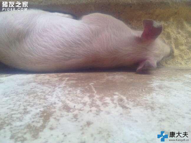 所在地区:临汾市 猪病阶段:保育猪(15kg30kg) 发病头数:1头 体温:41 用药情况:费本尼考加土霉素,还有黄芩多糖加黄安间加氧 症状描述:刚买的小猪回来就觉得腿关节有点肿,现在耳朵尾根发紫,高烧,拉稀绿色的