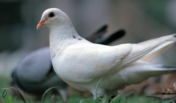 养鸽能手的致富经图片