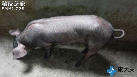 胖猪图片大全可爱图片