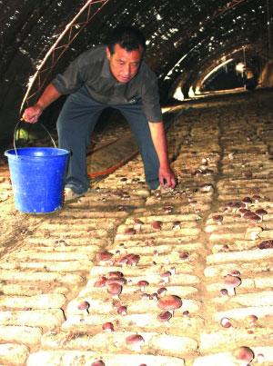 近年来,库伦旗积极扶持广大农民利用农牧林业副产品培育食用菌增收