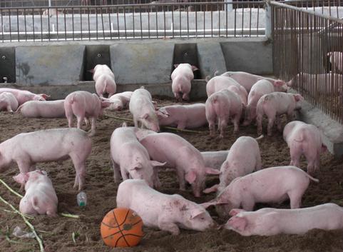 生猪价格网_