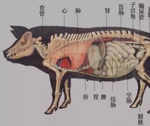 猪的解剖操作方法