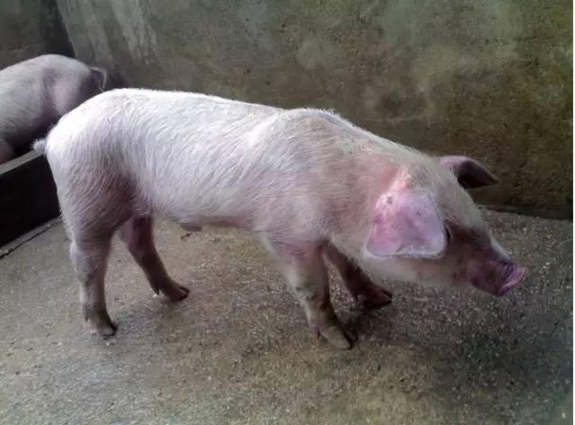 慢性猪瘟与副猪嗜血杆菌病混感:4个步骤一周搞定!  (1)