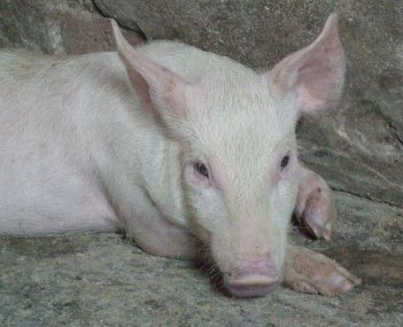 常见猪寄生虫病的防治措施,猪寄生虫病预防及治疗技术图片
