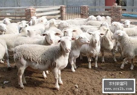 肉羊养殖致富案例之甘肃临平村农村养羊赚钱故事
