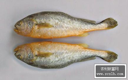 鱼类卵巢切片结构图