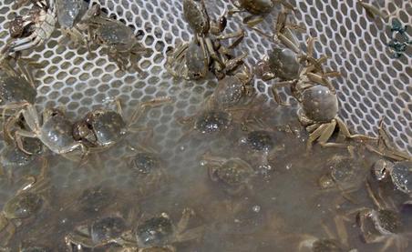 夏秋养殖河蟹水质调控技术