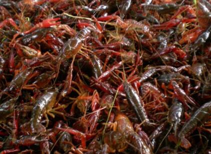 小龙虾虾苗繁育技术