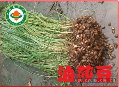 致富正文网站直播>种子黄连木一般以农村创业下种,2月为主,约1肥腿短裤图片