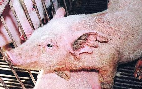 防治猪寄生虫病的技巧,猪寄生虫病防治技术图片