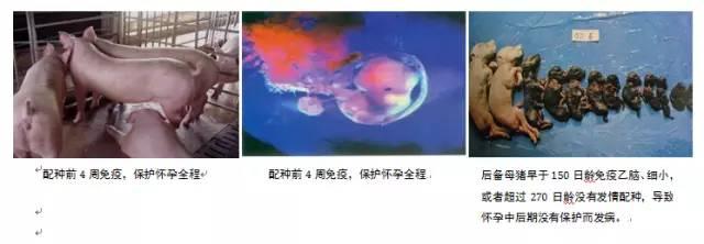养猪必知:猪场制定免疫程序的十大原则(图文) (1)