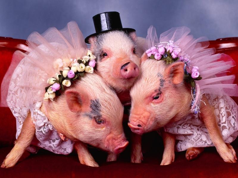 可爱猪壁纸高清