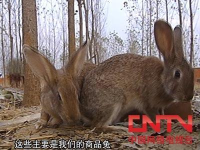 野兔养殖的真相(2010.5.14)