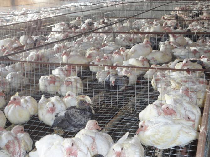 养殖频道 养殖业什么最赚钱      鸽在动物学分类上届脊椎动物亚门