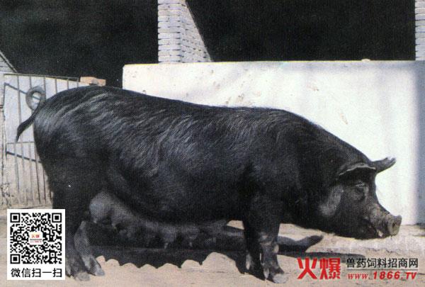 大黑鸡吧愺`/:)�h�_黑猪品种有哪些