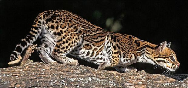 亚洲豹猫_由于豹猫是alc与家猫间的跨种后代,因此可能遗传了亚洲豹纹猫那种较