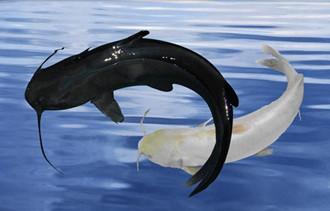 斑点叉尾鮰养殖视频_斑点叉尾鮰鱼养殖视频_养殖叉尾鮰一亩放多少尾