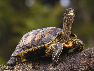 乌龟常见的疾病及预防_小乌龟红眼病怎么治_乌龟得了红眼病怎么治最有效