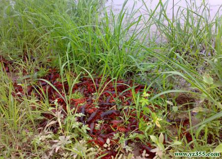 �]��_稻田生态养殖龙虾模式