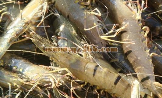 对虾品种介绍--SPF凡纳对虾