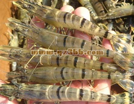 对虾品种介绍--斑节对虾