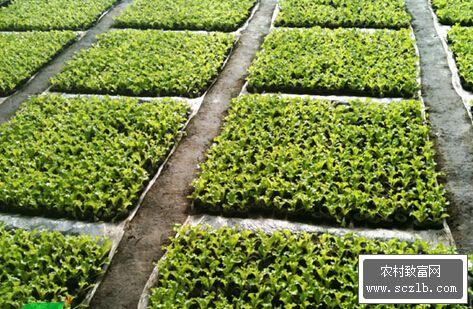 温室栽培生菜技术,温室种植蔬菜的方法