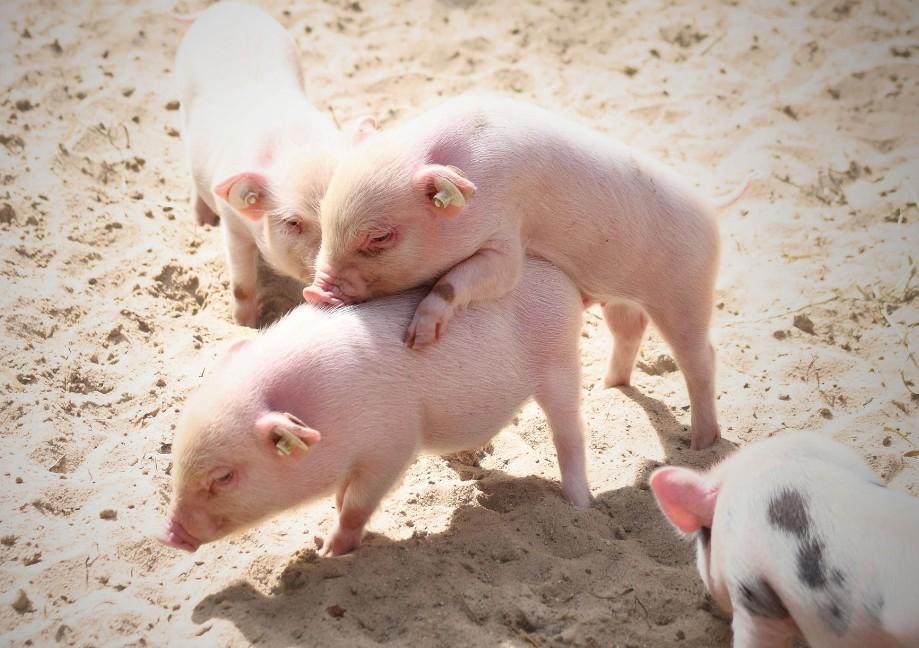 """全球十五大奇葩动物名字:""""草泥猪""""已濒临灭绝了,他的卷毛可以做"""