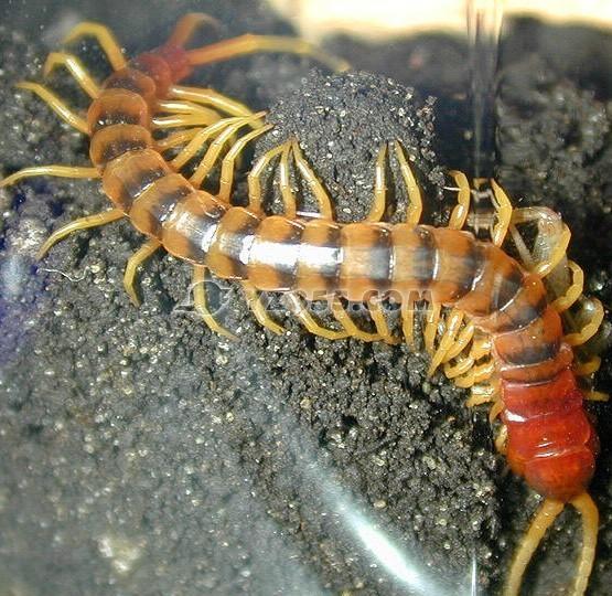 人工养殖蜈蚣要注意的问题